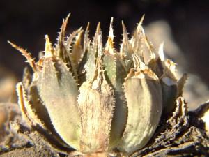 5.21 7991a H. maculata, Ouhoekberg E