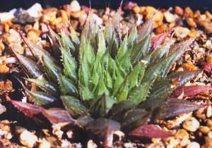 6.2 H. mirabilis var. notabilis. JDV86-108, Buitenstekloof