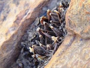 7.3 7271 H. maculata, Cilmor
