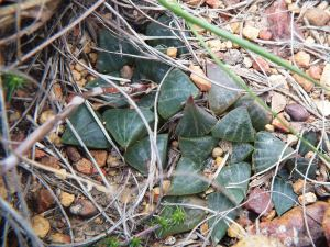 Fig. 127 7898 H. retusa 'nigra'.