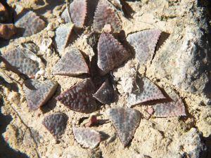 Fig. 19 7899 H. mirabilis