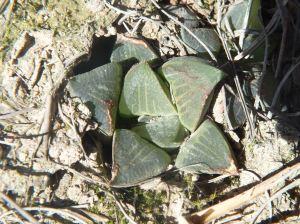 Fig. 25 7899 H. mirabilis