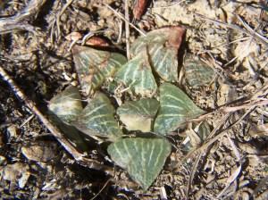 Fig. 43 6666 H. retusa 'nigra'
