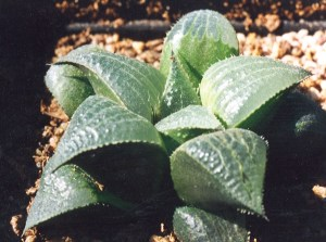 Fig. 52 6666 H. retusa 'nigra'