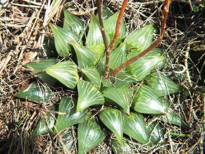 Fig. 8 H. retusa 'nigra', Heuningklip