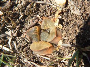 Fig. 130 7967 Spitzkop (quartz rock)