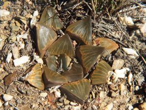 Fig. 133 7967 Spitzkop (quartz rock)