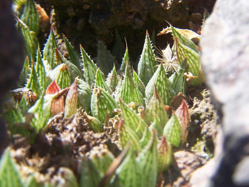 maculata + 028