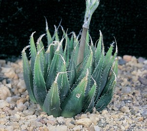 Haworthia aristata JDV87/53 Soutkloof. This is a photograph of a plant collectd by W. R. Branch. Although there are several records of this element it has not been clearly shown to be a valid species.