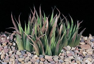 Haworthia chloracantha var. denticulifera JDV88/17 Hartenbos. Usually a dark green plant with fine spination.