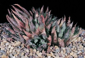 Haworthia chloracantha var. subglauca JDV84/58 south of Great Brak. Larger leaves which are a waxy bluish colour.