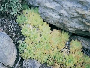 Haworthia cymbiformis var. cymbiformis JDV90/54 Beverly Cove. In dense clumps on steep rock faces.