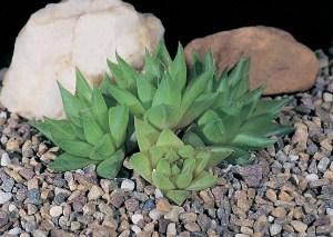 Haworthia cymbiformis var. reddii JDV92/113 Waterdown Dam. The translucent markings are quite variable.
