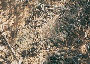 Haworthia decipiens var. decipiens JDV94/93 Springbokvlakte. The range of variation is not well understood and some populations resemble H. bolusii var. blackbeardiana.