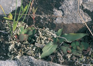 Haworthia floribunda var. dentata JDV93/58 east of Riversdale. In among stones and lichens.