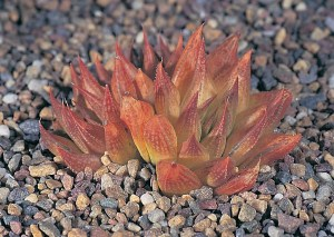 Haworthia maculata var. maculata JDV88/29 east of Brandvlei. At the eastern end of the range the plants form clusters and turn quite bright red during the dry hot summer.