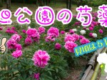 旭公園の芍薬(シャクヤク)