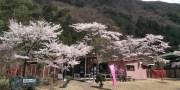 4/7 桜の開花状況
