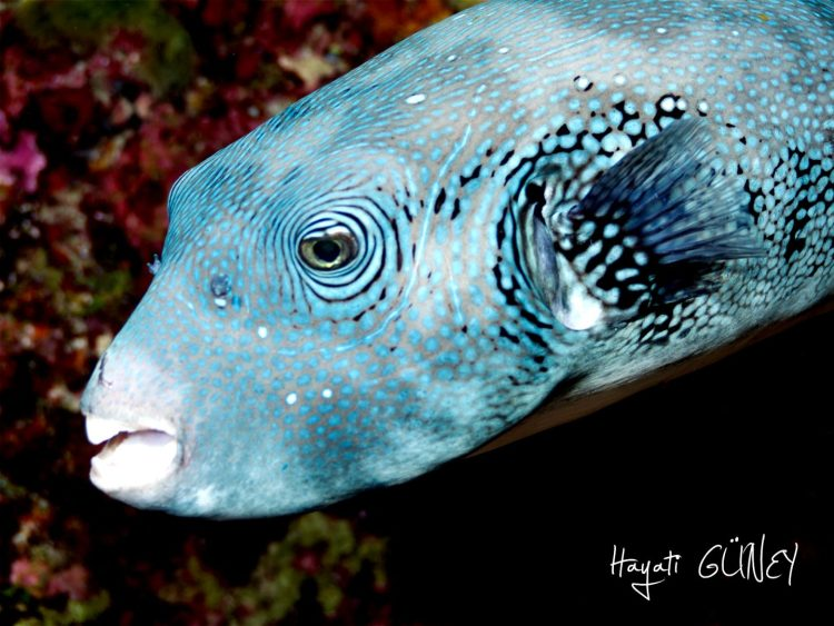 Andaman – Pufferfish
