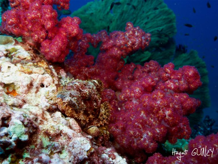 Andaman – Scorpion Soft Coral