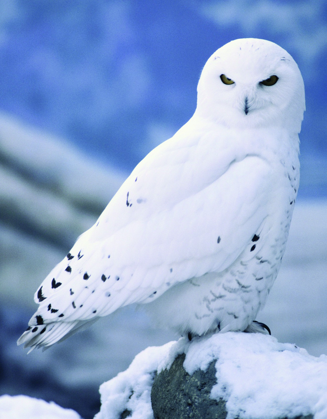5 Interesting Facts About Snowy Owls