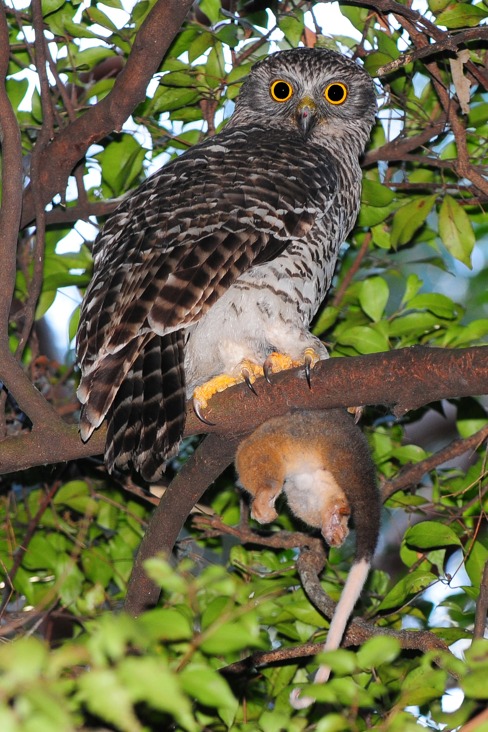 5 Interesting Facts About Powerful Owls