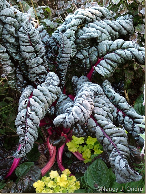 Chard with frost Oct 22 06