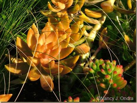 Sedum nussbaumerianum Stipa tenuissima Sedum rubrotinctum