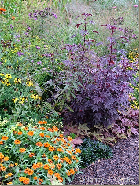 Hibiscus Maple Sugar Zinnia Profusion Orange Rudbeckia fulgida Ajuga Chocolate Chip Ipomoea Sweet Caroline Bronze Sept 11 07