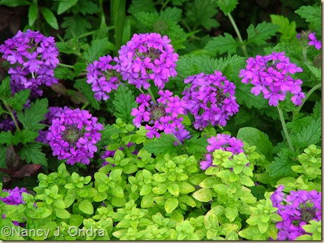 Golden oregano (Origanum vulgare 'Aureum') and 'Homestead Purple' verbena June 24 06