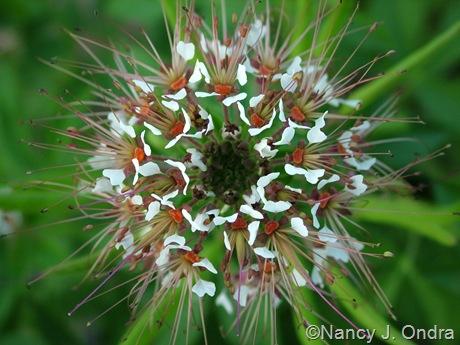 Polanisia dodecandra late July 10