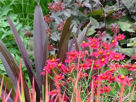 Eucomis 'Oakhurst' Coreopsis 'Limerock Ruby' mid-July