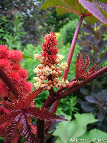 Ricinus communis 'Carmencita Red' female and male flowers mid-July 2010