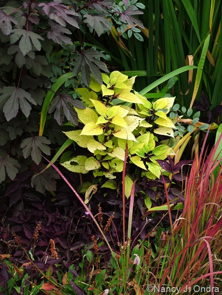 Coleus 'Floricolor Gold Ring', Imperata cylindrica 'Rubra', Persicaria affine 'Dimity', Tradescantia zebrina, and Hibiscus acetosella 'Red Shield' Sept 14 10