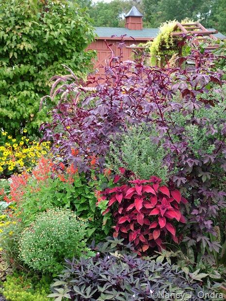 Coleus 'Oxblood', Ipomoea batatas 'Sweet Caroline Purple', Chrysanthemum, Salvia coccinea 'Lady in Red', and Hibiscus acetosella 'Red Shield' Sept 14 10