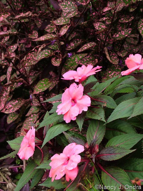 Impatiens 'Sunpatiens Compact Deep Rose' and Hypoestes phyllostachya 'Splash Select Rose' Oct 14 10