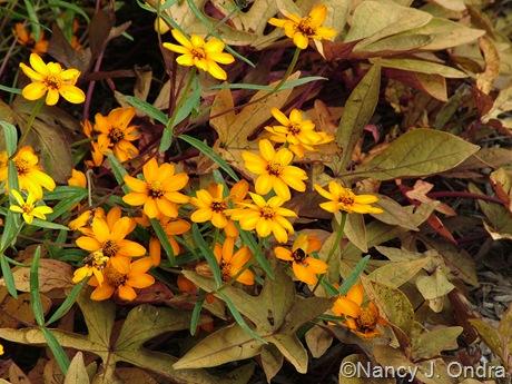 Zinnia angustifolia with Ipomoea batatas 'Sweet Caroline Bronze' Oct 13 10