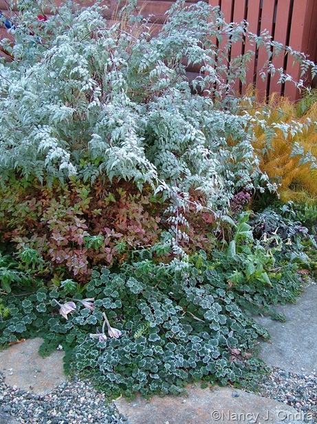 Rubus thibetanus with Amsonia hubrichtii, Rubus pentalobus, and Spiraea japonica 'Mertyann' (Dakota Goldcharm)