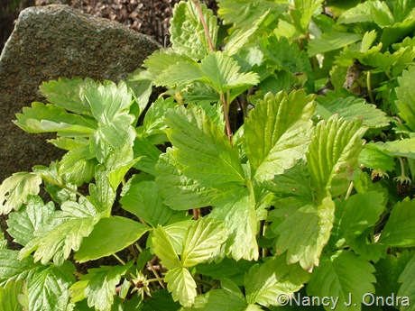 Fragaria vesca (alpine strawberry) 'Golden Alexandra'