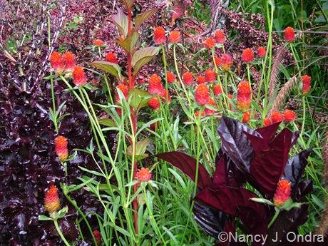 Gomphrena 'Strawberry Fields' with Pseuderanthemum atropurpureum 'Rubrum' and 'Merlot' lettuce