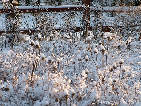 Rudbeckia hirta and R. fulgida seedheads in snow