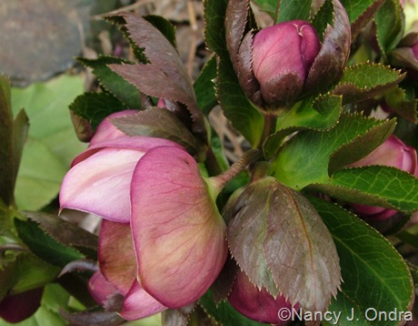 Helleborus x hybridus pink