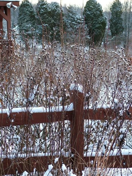 'Lemon Queen' helianthus in snow