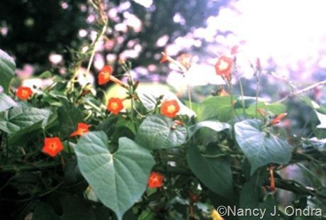 Ipomoea coccinea in Ondra garden Emmaus