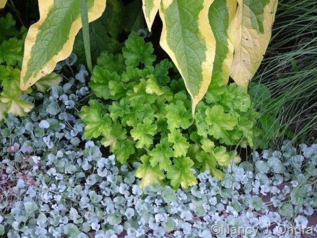 Dichondra argentea 'Silver Falls' with Heuchera 'Lime Rickey' and Symphytum x uplandicum 'Axminster Gold'