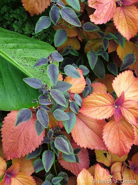 Euphorbia 'Flameleaf' with Solenostemon (coleus) 'Sedona'