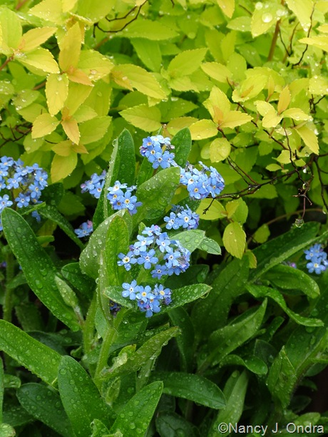 Myosotis 'Ultramarine' with Spiraea japonica 'Gold Mound'