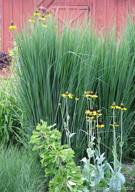 Panicum virgatum 'Northwind' with Rudbeckia maxima
