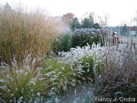 Panicum virgatum 'Cloud Nine' with Pennisetum alopecuroides 'Cassian' and Spodiopogon sibiricus