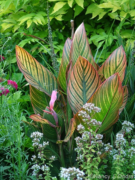 Canna 'Pink Sunrise' with Origanum vulgare 'Aureum'